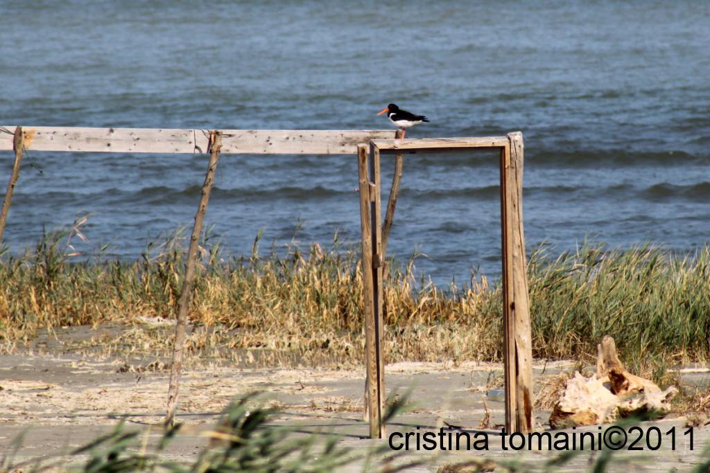 uccelli marini, beccaccia di mare