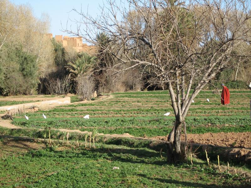 contadino nella palmeria