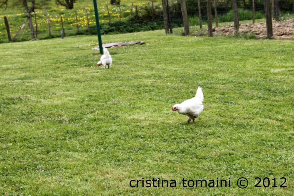 pollo di Bourg en bresse